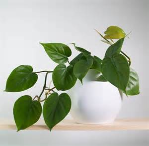 charming What Are Good Indoor House Plants #1: Sweetheart-Plant-in-Pure-White-Pot.jpg