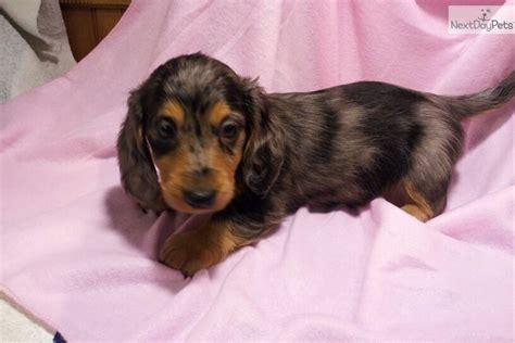 dachshund puppies for sale cincinnati ohio dachshund mini puppy for sale near cincinnati ohio 9bfdecc6 b9e1