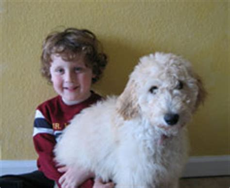 goldendoodle puppy northern california goldendoodle breeders puppies for sale adoption in