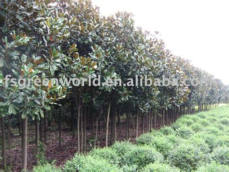 home gt product categories gt cold hardy virescence trees gt magnolia grandiflora gt magnolia