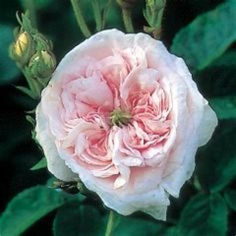 44328 Flowery Green by Rosa Madame Antoine Mari Before 1890 Flowers