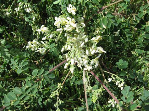 Teh Moringa moringa oleifera the miracle plant