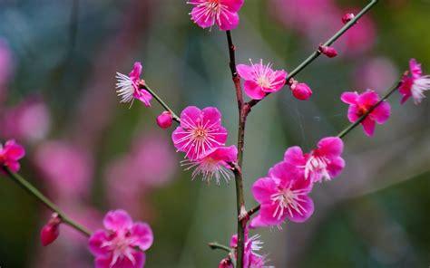 imágenes flores japonesas flores japonesas del albaricoque rosado fondos de pantalla