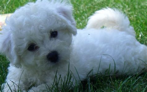shih tzu and bichon frequently asked questions about bichon shih tzu shih tzu