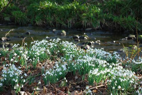 snowdrop s at castle kennedy this weekend dgwgo
