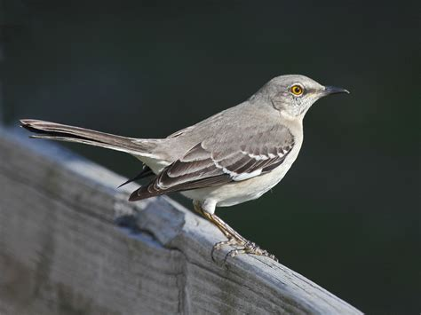 file mockingbird northern sunsetbeach jpg wikipedia