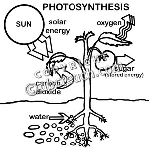 Photosynthesis Colouring Pages Photosynthesis Coloring Pages