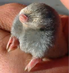 Are Moles Blind The Difference Between Moles And Voles Landscaping Tips