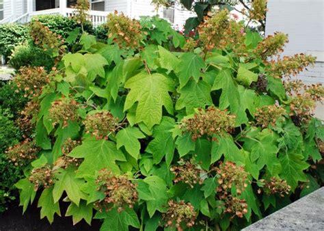 oakleaf hydrangea diy