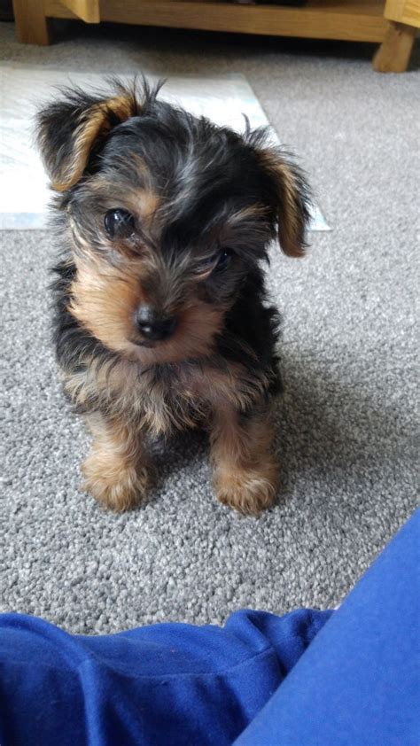 crate for yorkie gorgeous terrier plus bed crate doncaster south pets4homes