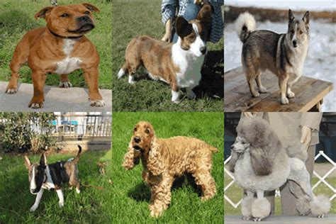 dogs 30 pounds 82 breeds 30 pounds complete list pictures