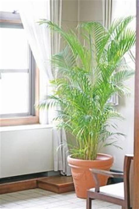 tall house plants best 25 tall indoor plants ideas on pinterest