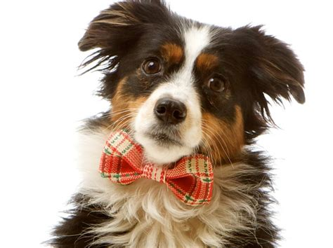 puppy with bow sm winter formal bow tie collar attachment for dogs green and