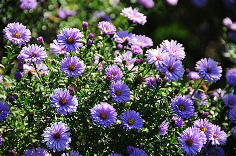 Blooming Flower by Aster Flower