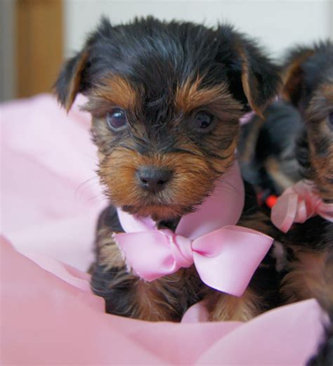 information on teacup yorkies pictures of breed yorkies thumb
