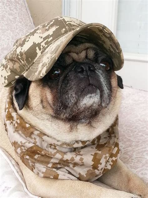 pug army thanks for our freedom pug dose of deadly cuteness happy memorial day