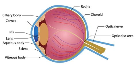 diagram of cornea eye diagram retina images how to guide and refrence