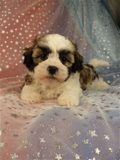shih tzu puppies iowa teddy puppies iowa breeder july and august 2012 big sale