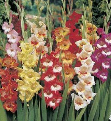 perennial flower bulbs ebay