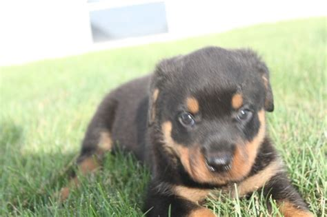 rottweilers for sale in maryland 17 best images about rottweiler puppies for sale in pa on rottweiler