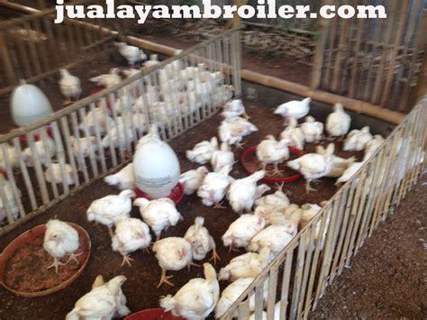 Jual Bibit Ayam Broiler Di Bogor jual ayam broiler di cijeruk bogorjual ayam broiler jual