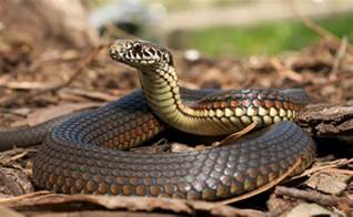 Snakes In Identify And Get Rid Of Poisonous Snakes In Your Yard