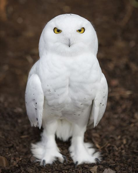 White Owl Meme - snow owl hedwig blank template imgflip