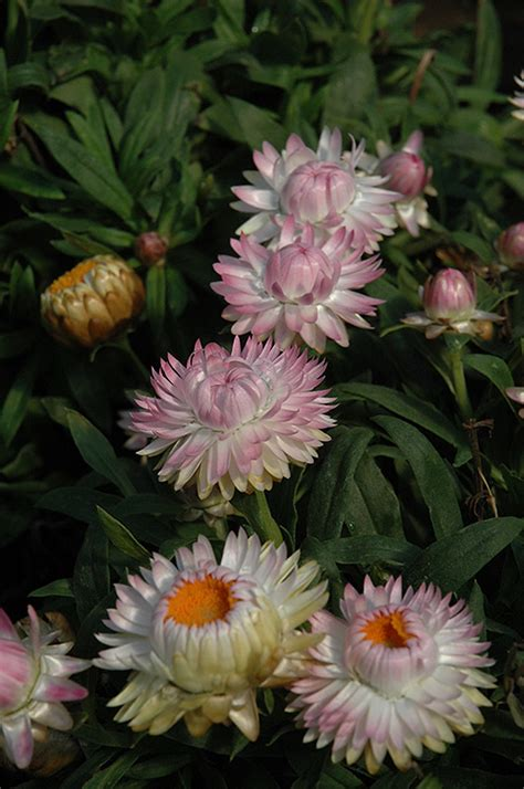 Flower Jumbo dreamtime jumbo light pink strawflower bracteantha bracteata dreamtime jumbo light pink in