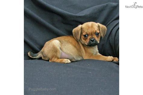 puggle puppies for sale in michigan puggle puppy for sale near kalamazoo michigan 67f35932 e681