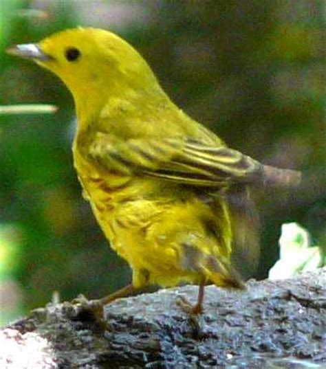 yellow warbler dendroica petechia