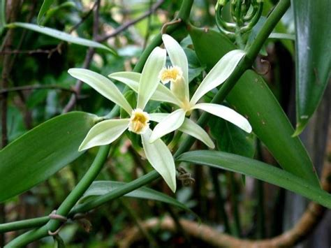 fiore della vaniglia vaniglia pianta aromatiche vaniglia pianta