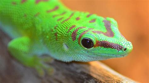 colorful lizard colorful geckos www imgkid the image kid has it