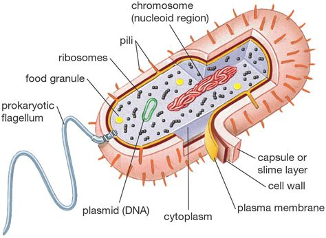 diagram of a cell bacterial cell diagrams printable diagram site