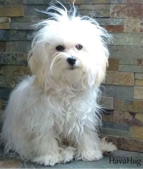 akc rules for giving a havanese a hair cut 10 best images about havanese hair styles on pinterest