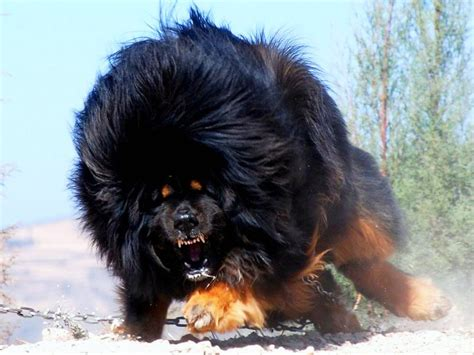 tibetan mastiff puppies tibetan mastiff all big breeds