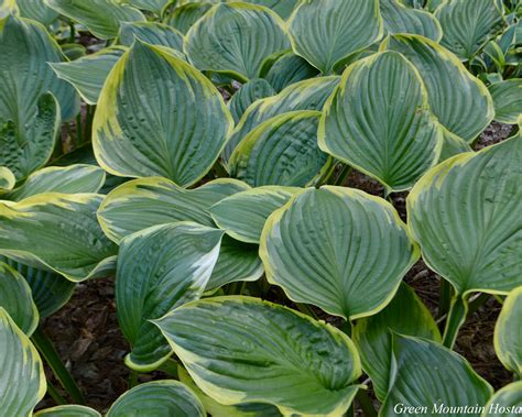 large leaf hosta varieties pictures to pin on pinterest pinsdaddy