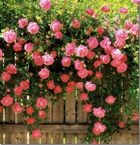 preguntas guias la llamarada rosal enredadera diferentes colores metro y medio de alto