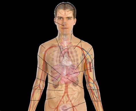 anatomy organs human organs