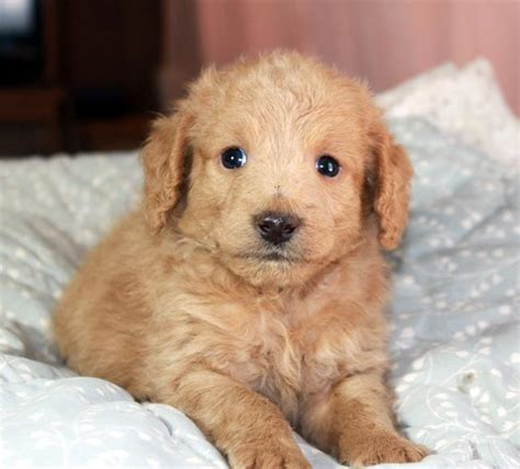 doodle puppies for sale california labradoodle breeder los angeles puppies for sale california