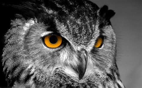 wallpaper for iphone 6 owl owl wallpaper 2560x1600 40770