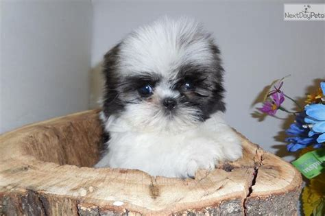 shih tzu chicago 45 best images about chicago hugable puppies on