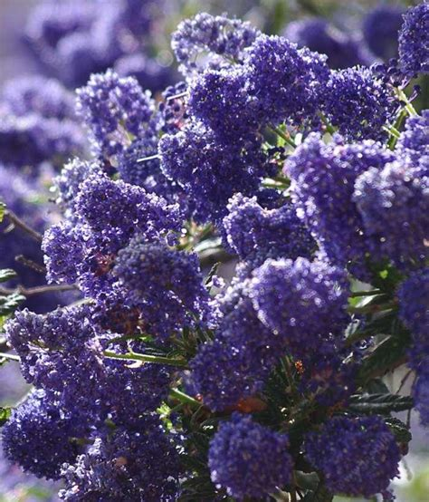 drought tolerant flowering shrubs drought tolerant hedges wind breaks and screens with
