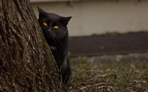 a black cat black cat random wallpaper 32500174 fanpop