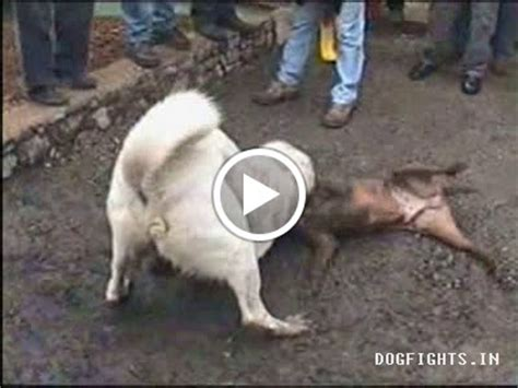 pitbull vs rottweiler real fight pitbull wolf hybrid book covers
