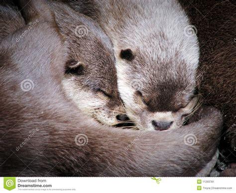 Zwei Umarmende Otter Beim Schlafen Stockbild Bild 11293781