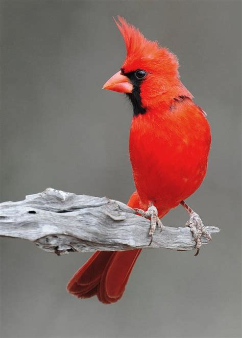 male cardinal greeting card for sale by dave mills