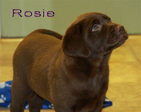 brown lab puppies for sale labrador retriever chocolate for sale dogs in our photo