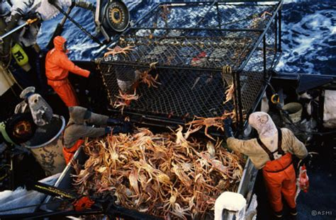 alaskan king crab fishing prices sizing captain