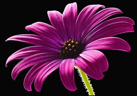 flower picture daisy flower 3 flower picture daisy flower 3