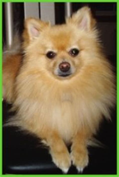 pomeranian average weight pomeranian breed info